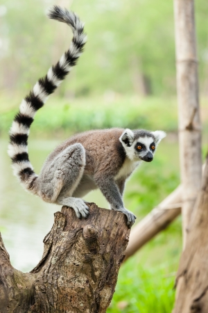 The portrait of Lemur  Lemuriformes  on the tree