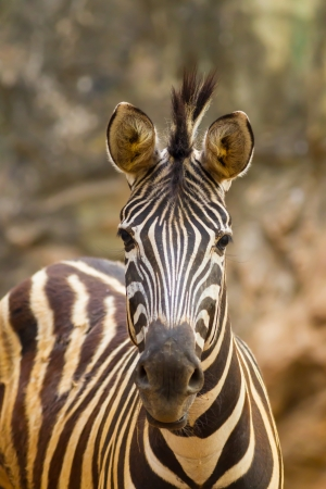 The portrait of Zebra direct watching us Stock Photo - 17751174