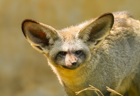The portrait of Bat-eared fox  photo