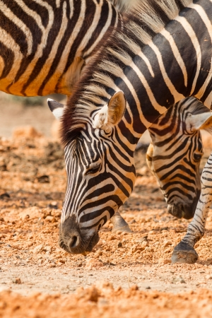 The portrait of Zebra eating some fruit  photo