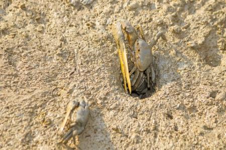 fiddler: Fiddler Crab on wetland in Thailand Stock Photo