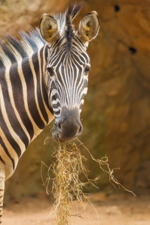 The portrait of Zebra eating grass and stair at us photo