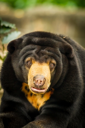 A portrait of Asiatic Black Bear  photo