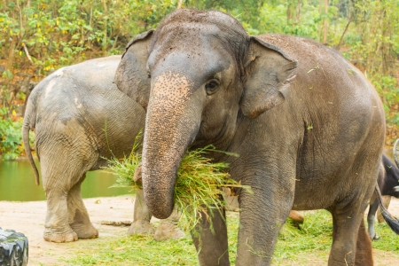 shake off: The  Asian Elephant shake off the sand before eat the grass