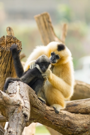 look after: The sweet white-cheek gibbon mum look after her child