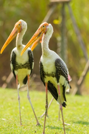 The close up portrait of Asian Openbill stork  Anastomus oscitans   photo