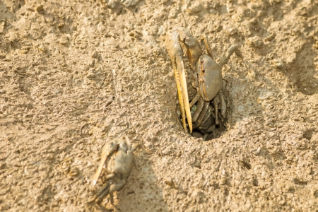 fiddler: Fiddler crab with his home on the beach Stock Photo