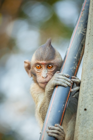The lovely Monkey  Long-Tailed Macaque  with sweet eyes