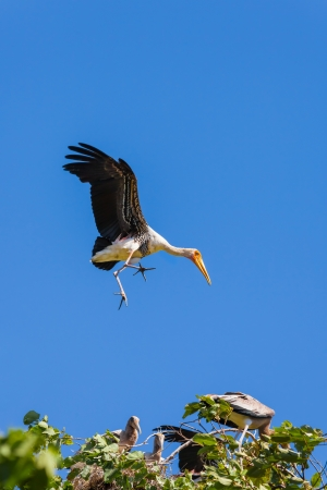 Painted Stork  Mycteria leucocephala   bird fling down with blue sky background  photo