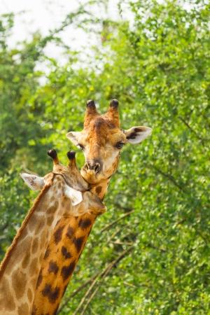 The Giraffe mum kissing  her child  photo