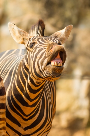 The portrait of Zebra smile and laughing