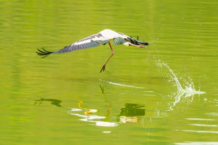 The Painted Stork  Mycteria leucocephala   bird flying and jump on the pond  photo