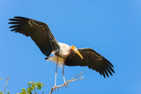 The Painted Stork  Mycteria leucocephala   bird is spread her wing on her home