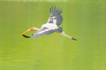The Painted Stork  Mycteria leucocephala   bird flying on the pond  photo