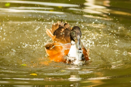 Ruddy Shelduck Tadorna ferruginea  known as the Brahminy Duck spread the water out Stock Photo - 18243077