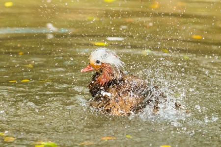The Mandarin duck take a shower and spreading the water  Stock Photo - 18243074