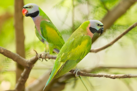 The portrait of a pair  Red-breasted parakeet  Psittacula alexandri  in Thailand photo