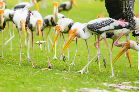 The Painted Stork  Mycteria leucocephala   bird  eating the fish  photo