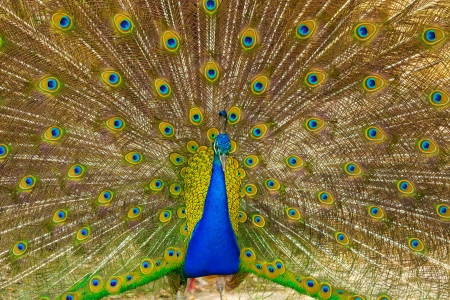 The portrait of beautiful peacock with spread feathers out  photo