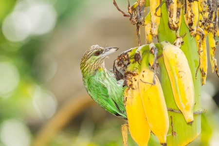 The Green-eared Barbet  Megalaima faiostricta   bird eating the banana photo