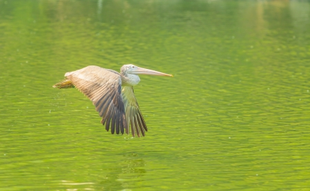 The Pelican flying over the pond  photo