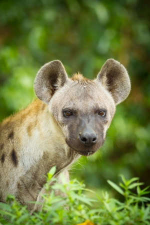The portrait of Hyena photo