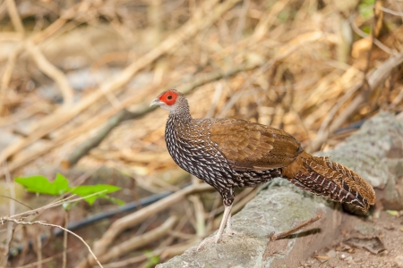 The female Kalij pheasant  Lophura Leucomelanos  bird walk and act for the camera