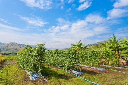 The Yardlong beans farm in Thailand with blue sky background photo