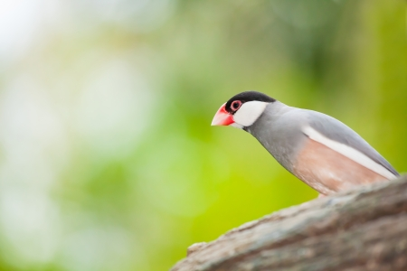 The Java sparrow bird   Lonchura oryzivora  come out to look at us photo