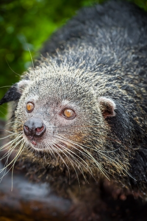 The portrait of Binturong  Arctictis binturong   photo