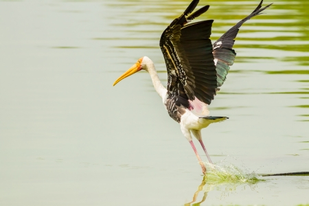 Painted Stork  Mycteria leucocephala   birds starting to fly on the pond photo
