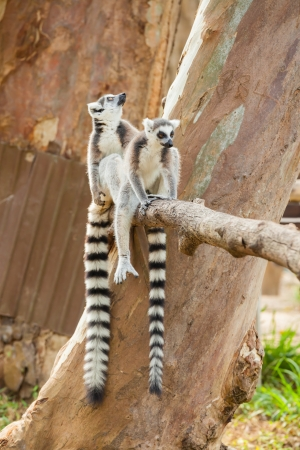 Two lovely Lemur sitting on the tree branch photo