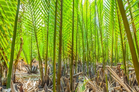 The deep green  Nypa  Palm  for background use  Stock Photo - 18600257