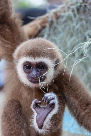 The baby of white-cheek gibbon playing with branch photo