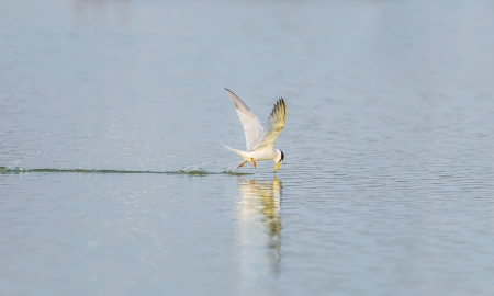 The River Turn (Sterna Aurantia) flying and catching the fish in the pond photo