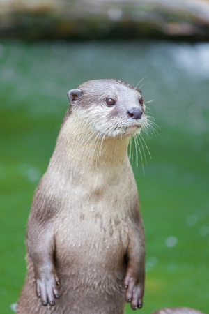 The portrait of Otter with green pool in background