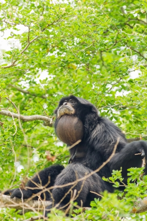 siamang: The Siamang Gibbon is screaming on the tree