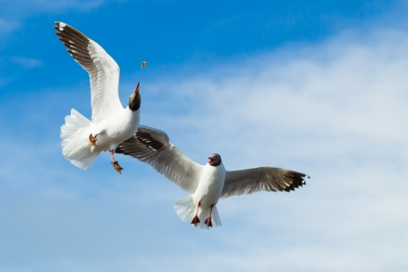 Two Brown headed Gull flying  Larus brunnicecephalus  snatching the food with blue sky background photo