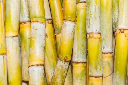 sugar cane farm: Top view of bundles of freshly harvested sugar cane stalks for background and texture used