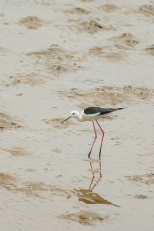 Black-winged Stilt bird  Himantopus himantopus   walk to find the food in Thailand Stock Photo - 19222056