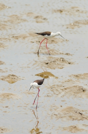 Black-winged Stilt bird  Himantopus himantopus   walk to find the food in Thailand photo