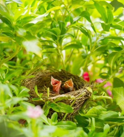 The baby Streak-eared Bulbul  Pynonotus blanfordi   bird screaming for food Stock Photo