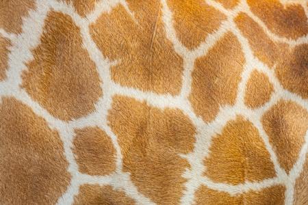 huella animal: La textura del cabello jirafa para el fondo y el uso de la textura