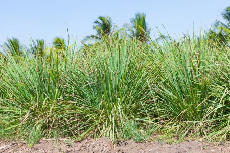 The Lemongrass ,natural Thai herb for background use