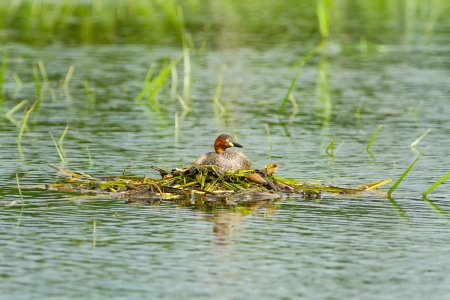 Little Grebe is resting on nest  Tachybaptus ruficollis   photo