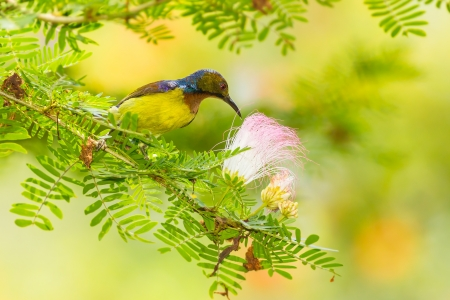 Male Brown-throated Sunbird is eating the sweet flower Stock Photo - 19843337