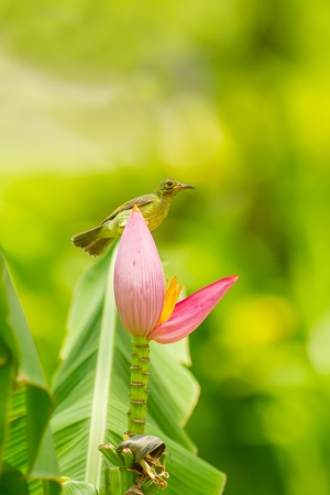 Female Brown-throated Sunbird  Anthreptes malacensis  with banana flower Stock Photo - 19843155