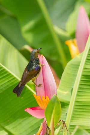 Male Brown-throated Sunbird  Anthreptes malacensis  with banana flower Stock Photo - 19843156
