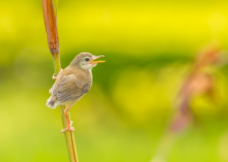 A lovely cub of Plain Prinia or White-browed Prinia