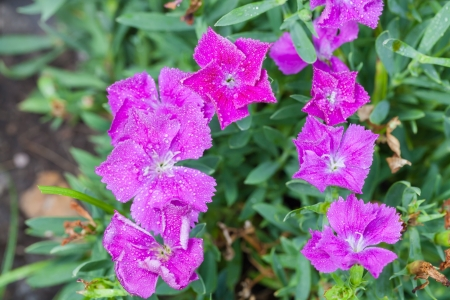 Dianthus  Dianthus chinensis  or Rainbow pink flower are blooming Stock Photo - 20001997